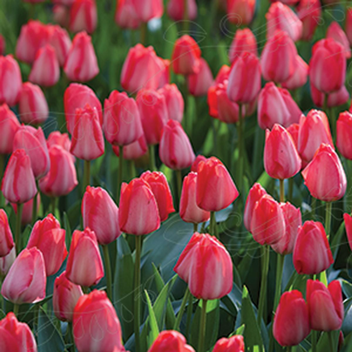 Tulipan, Darwinhybrid 'Van Eijk'
